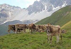 Rindertuberkulose im Kanton St.Gallen entdeckt