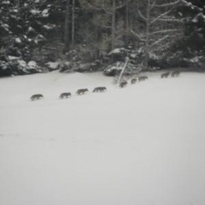 Wolfsrudel Taminatal 28.11.2013